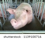 small piglet waiting feed. pig... | Shutterstock . vector #1139100716