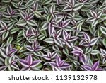 zebrina pendula plant | Shutterstock . vector #1139132978