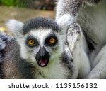 wildlife monkey picture. | Shutterstock . vector #1139156132