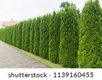 Green Hedge Of Thuja Trees....