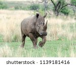 rhinos are endangered due to... | Shutterstock . vector #1139181416