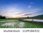 green rice fild with evening sky | Shutterstock . vector #1139186522