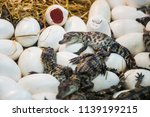 crocodile out of eggs | Shutterstock . vector #1139199215