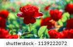 Stock photo red rose flower background 1139222072