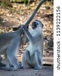 vervet monkey grooming  | Shutterstock . vector #1139222156