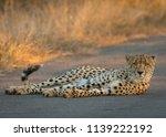 cheetah lying in the road | Shutterstock . vector #1139222192