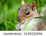 wild park squirrel  | Shutterstock . vector #1139222696