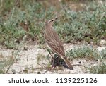 tawny pipit  anthus campestris  ... | Shutterstock . vector #1139225126