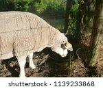 sheep in dutch landscape ... | Shutterstock . vector #1139233868