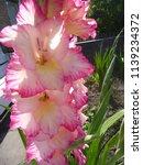 pink blooming gladiolus  | Shutterstock . vector #1139234372