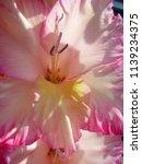 pink blooming gladiolus  | Shutterstock . vector #1139234375