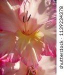 pink blooming gladiolus  | Shutterstock . vector #1139234378