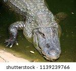 big crocodile in the river | Shutterstock . vector #1139239766