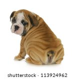 Stock photo cute puppy english bulldog puppy looking over shoulder weeks old 113924962