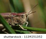 macro image of a grasshopper ... | Shutterstock . vector #1139251352