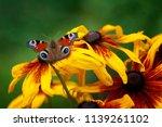 Butterfly Peacock Eye  Sitting...