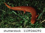 red salamander  pseudotriton... | Shutterstock . vector #1139266292
