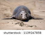 elephant seal on the shore in... | Shutterstock . vector #1139267858