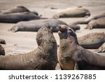 molting elephant seals on a... | Shutterstock . vector #1139267885