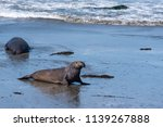 elephant seal on the ocean... | Shutterstock . vector #1139267888