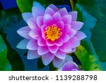 pink water lily green lily pads ... | Shutterstock . vector #1139288798