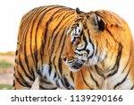 majestic tiger posing | Shutterstock . vector #1139290166