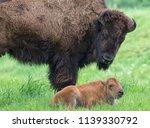 Female American Bison  Bison...