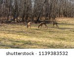 Three Young Whitetail Deers