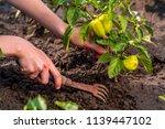 weeding green pepper on the... | Shutterstock . vector #1139447102