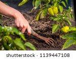 weeding green pepper on the... | Shutterstock . vector #1139447108