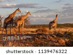 The Group Of Giraffes Is...