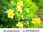 Small photo of Yellow Jessamine flower, a early-blooming vine with bright, funnel-shaped flowers. It grows beautifully over fences, walls and trellises.