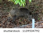 a big boar lives in the zoo | Shutterstock . vector #1139534792