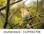 chiffchaff  phylloscopus... | Shutterstock . vector #1139561708