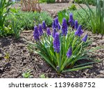 hyacinth bloom  blue muscari... | Shutterstock . vector #1139688752