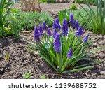hyacinth bloom  blue muscari... | Shutterstock . vector #1139688752