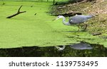 grey heron fishing over green... | Shutterstock . vector #1139753495