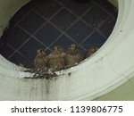 young common kestrel  falco... | Shutterstock . vector #1139806775