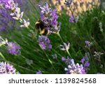 bee pollinating a lavender... | Shutterstock . vector #1139824568