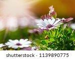 a clump of hardy african daisy  ... | Shutterstock . vector #1139890775