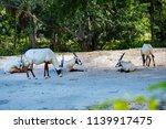 endangered arabian oryx antelope | Shutterstock . vector #1139917475