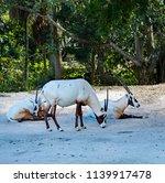 endangered arabian oryx antelope | Shutterstock . vector #1139917478