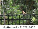 fluffy female northern cardinal ... | Shutterstock . vector #1139919452