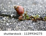 big snail in shell crawling on... | Shutterstock . vector #1139934275