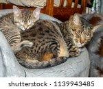 A Gray Tabby Kitten Sleeps On...