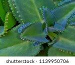 bryophyllum pinnatum leaves. | Shutterstock . vector #1139950706