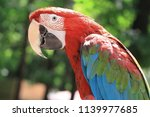 close up. parrot macaw sitting... | Shutterstock . vector #1139977685