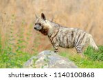 striped hyena  hyaena hyaena ...   Shutterstock . vector #1140100868