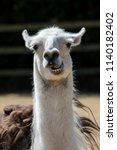 Small photo of Dumb animal. Cute crazy llama pulling a face. Funny meme image of pet with an open mouth and stupid looking expression.