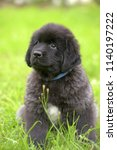 cute black two month old... | Shutterstock . vector #1140197222